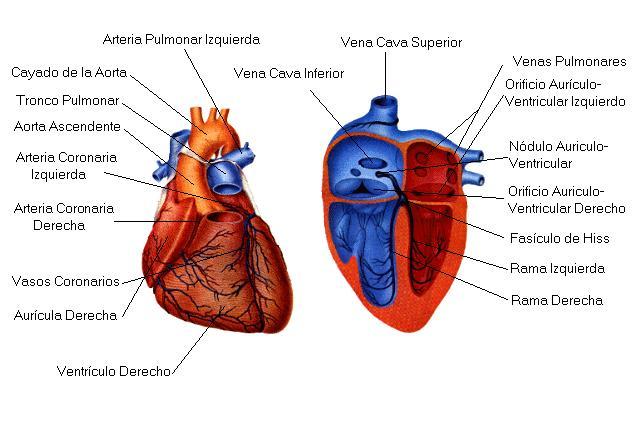Corazón - Información médica en Ferato, enciclopedia de la salud en ...