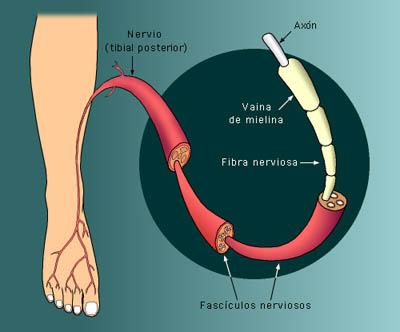 Nervio - Información médica en Ferato, enciclopedia de la salud en ...
