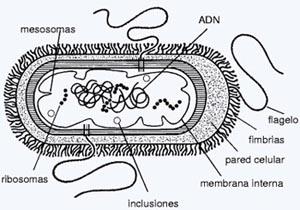 20080225 mgb Estructura bacteriana .jpg