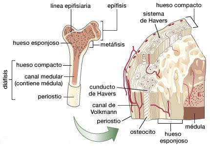 Hueso - Información médica en Ferato, enciclopedia de la salud en ...