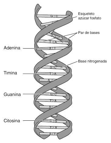la molécula de adn ácido desoxirribonucleico es la portadora de toda ...