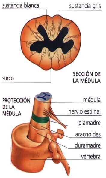 Médula espinal - Información médica en Ferato, enciclopedia de la ...