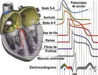 Un electrocardiograma (ECG) es una prueba que registra la actividad ...